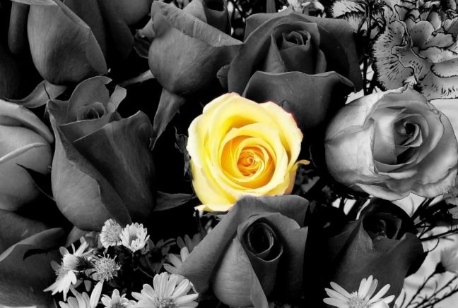 Nature Black White Color Yellow Roses Flowers Desktop Wallpaper Single Flower